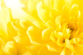 Close up of yellow flower aster, daisy — Stock Photo