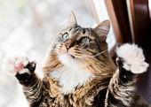 Funny male cat raises paws up — Stockfoto