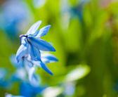 Flores da Primavera (Scilla Sibirica) — Fotografia Stock