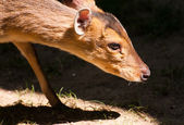 Reeves' Muntjac — Stock Photo