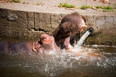 Hippopotamuses Showing Huge — Stock Photo