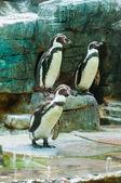 Penguins — Stockfoto