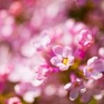 Fragrant lilac blossoms (Syringa vulgaris). Shallow depth of fie — Stock Photo #26875549