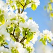 Stock Photo: Blossoming tree brunch with white flowers o