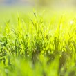 Green summer grass and sun — Stock Photo