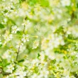 Flowers of the cherry blossoms on a spring day — Stock Photo #26875355