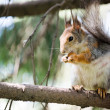 Squirrel eating on the tree — Stock Photo