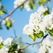 Blossoming tree brunch with white flowers o — Stock Photo