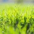 Stock Photo: Green summer grass and sun
