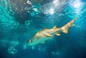 Sand tiger shark (Carcharias taurus) underwater close up portra — Stock Photo