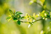 Young foliage — Stock Photo