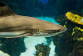 Shark underwater portrait — Stock Photo