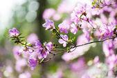 Beautiful pink blooming. Rhododendron sichotense — Stock Photo