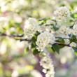 Stock Photo: Bird cherry tree in blossom