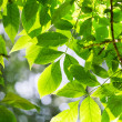 Green leaves, shallow focus — Stock Photo #28842799