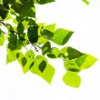 Green leaves, shallow focus — Stock Photo #28842933