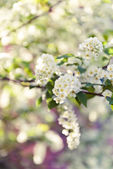 Bird cherry tree in blossom — Stock Photo