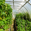 Stock Photo: Inside plastic covered horticulture greenhouse