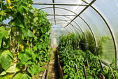 Inside plastic covered horticulture greenhouse — Stock Photo
