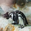 Foto Stock: Penguins