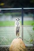 Alert meerkat (Suricata suricatta) standing — Stock Photo