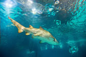Sand tiger shark underwater — Stok fotoğraf