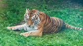 Tiger on green grass — Stock Photo