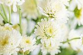 Witte chrysanten — Stockfoto