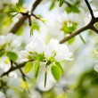 A blooming branch of apple tree in spring — Stock Photo #43606787