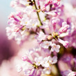 Fragrant lilac blossoms (Syringa vulgaris). — Stock Photo #43606795