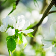 A blooming branch of apple tree in spring — Stock Photo #43607643