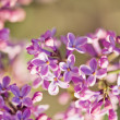 Fragrant lilac blossoms (Syringa vulgaris). — Stock Photo #43607983
