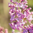 Fragrant lilac blossoms (Syringa vulgaris). — Stock Photo #43608105