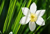 Nergis çiçeği — Stok fotoğraf