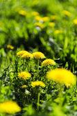 Dandelion field.  — Stock Photo