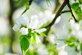 Elma ağacının baharda çiçek açan bir dalı — Stok fotoğraf