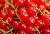 Red currant berry close up colorful fruit background — Stock Photo