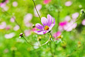 The Cosmos Flower  — Stock Photo