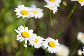 Wild chamomile on a meadow.  — Stock Photo