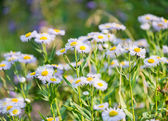 Wild blue asters  — Stock Photo