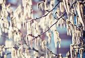 Amentos en un árbol del aliso — Foto de Stock