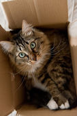 Cat  in   cardboard box — Stock Photo