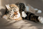 Grey cat lying on bed  — Stock Photo