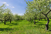 Blooming of apple trees — Stock Photo