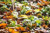 Fallen leaves on grass — Stock Photo