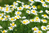 Wild chamomiles on a meadow. — Stock Photo