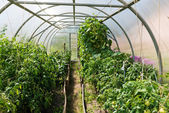 Inside plastic horticulture greenhouse — Stock Photo