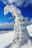 Abeto nevado — Foto de Stock