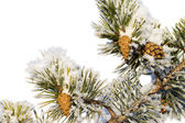 Snowy pine branch with cones — Stock Photo