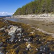 Brown algae (Fucus), on the shore of the White Sea at low tide — Stock Photo
